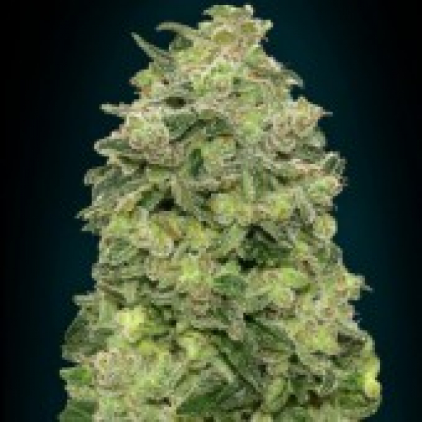 Auto Afghan Skunk Feminised Cannabis Seeds | Advanced Seeds