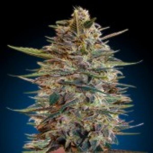 Advanced Seeds Auto Blue Diese Feminsedl Cannabis Seeds