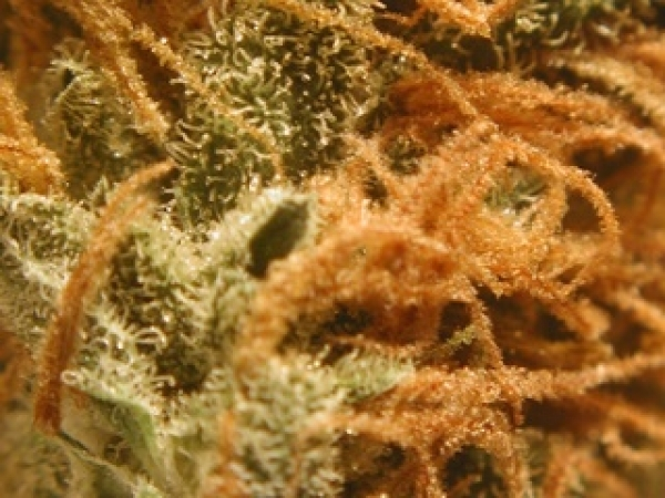 BC Monterey Jack (Formerly Cheese) Feminised Cannabis Seeds | BC Bud Depot