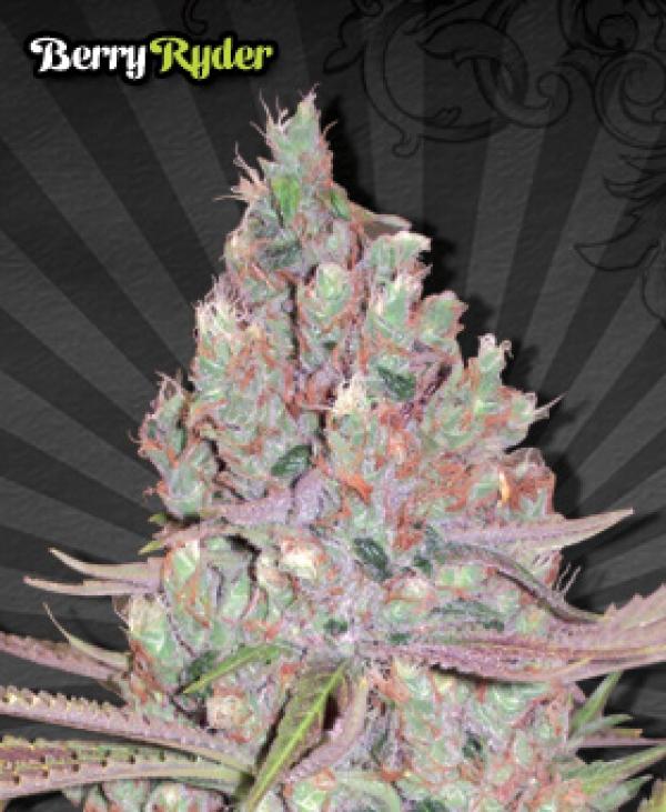 Berry Ryder Auto Feminised Cannabis Seeds   Auto Seeds