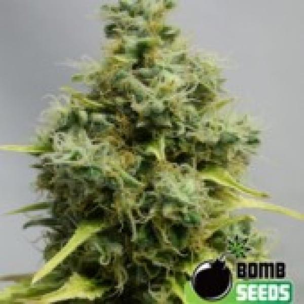 Bomb Seeds Big Bomb Feminised Cannabis Seeds For Sale