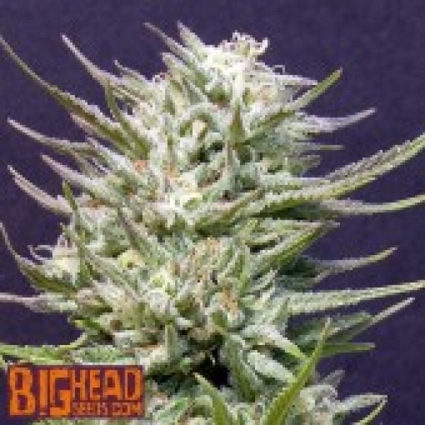 Buy Big Head Seeds Big Freeze Feminised Cannabis Seeds