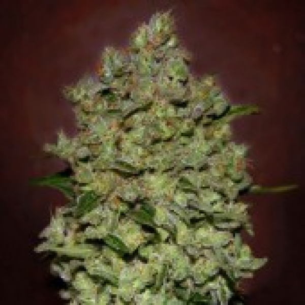Advance Seeds Auto Biodiesel Mass Feminised Cannabis Seeds