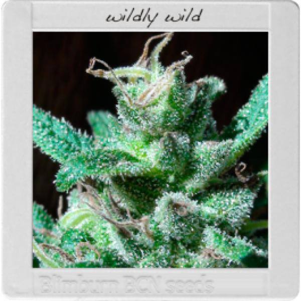 Blim Burn Seeds BCN Range - Wildly White Feminised Cannabis Seeds For Sale
