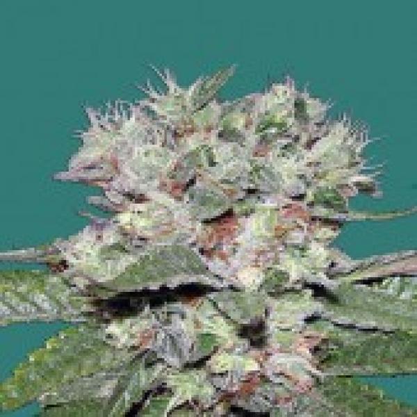 Bomb seeds CBD Bomb Feminised  Cannabis Seeds For Sale