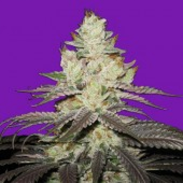 Bomb Seeds Killer Purps Feminised Cannabis Seeds For Sale