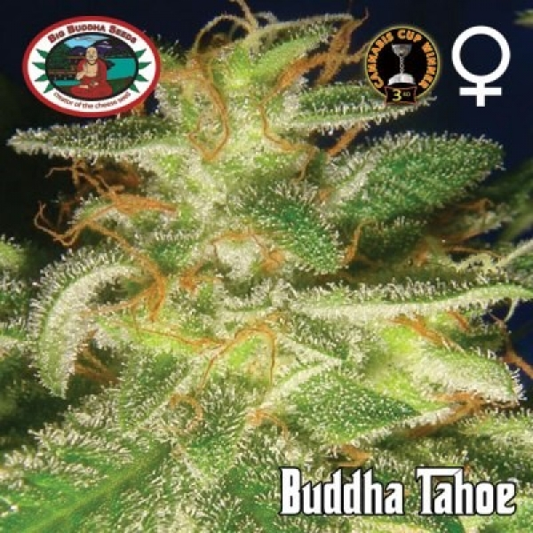 Big Buddha Seeds Buddha Tahoe Feminised Cannabis Seeds