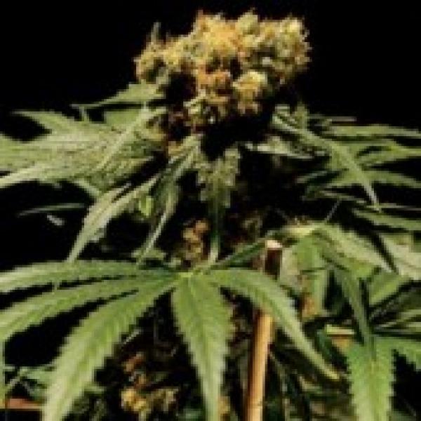 The Chronic Feminised Cannabis Seeds   Bulldog  Seeds