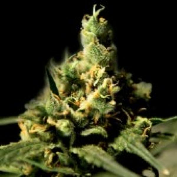 Citral Skunk Feminised Cannabis Seeds | Bulldog Seeds
