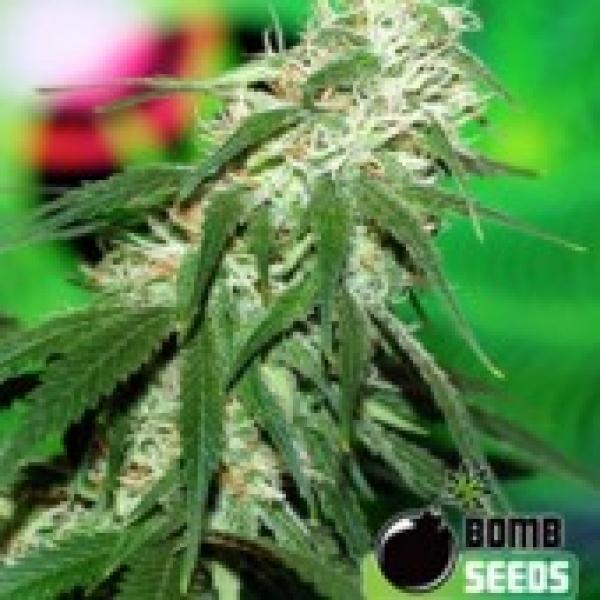 Bomb Seeds Buzz Bomb Regular Cannabis Seeds(10 Regular) For Sale