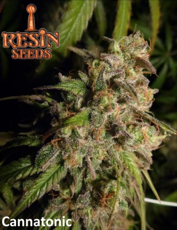 Cannatonic Feminised Cannabis Seeds | Resin Seeds