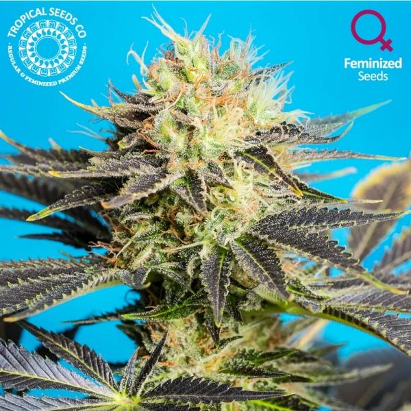 Dandy Dance Feminised Cannabis Seeds | Tropical Seeds