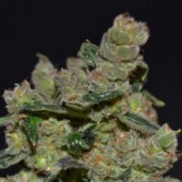 Diesel Feminised Cannabis Seeds   CBD Seeds Classic Line