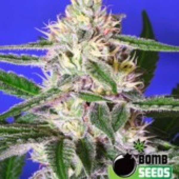 Bomb Seeds Cheese Bomb Regular Cannabis Seeds (10 Regular) For Sale