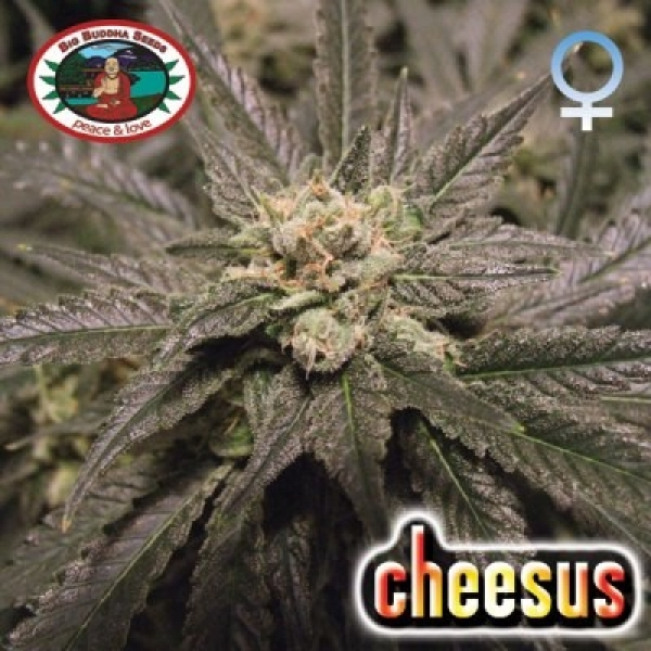 Cheesus Feminised Cannabis Seeds | Big Buddha Seeds
