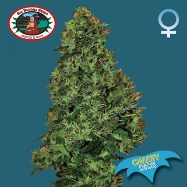 Big Buddha Seeds Cheesy Dick Feminised Cannabis Seeds For Sale
