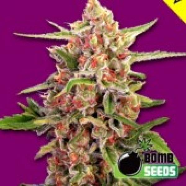 Cherry Bomb Feminised Cannabis Seeds | Bomb Seeds