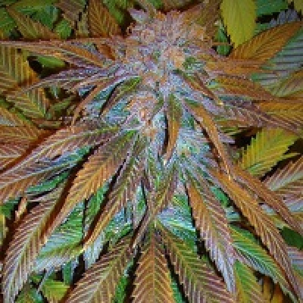 Congo Feminised Cannabis Seeds | Ace Seeds