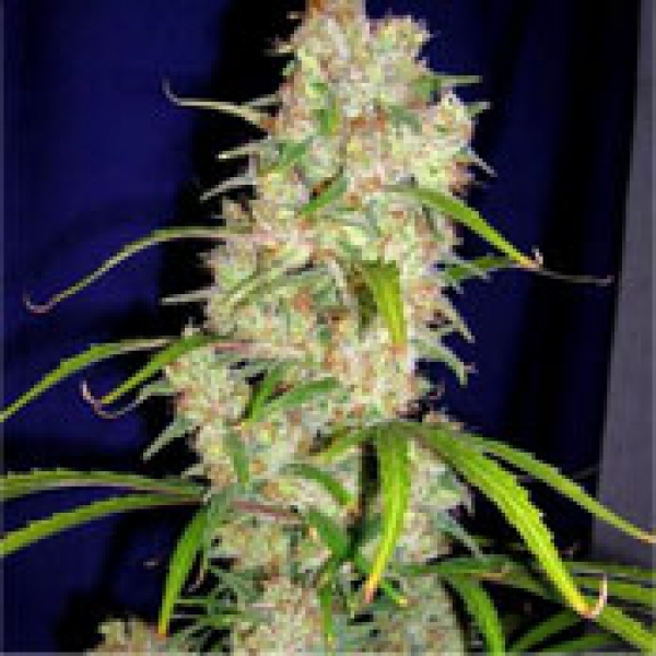 Destroyer Feminised Cannabis Seeds