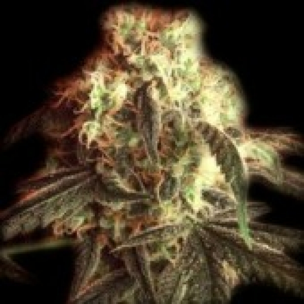 Fast Ryder I Auto Feminised Cannabis Seeds | Bulldog Seeds