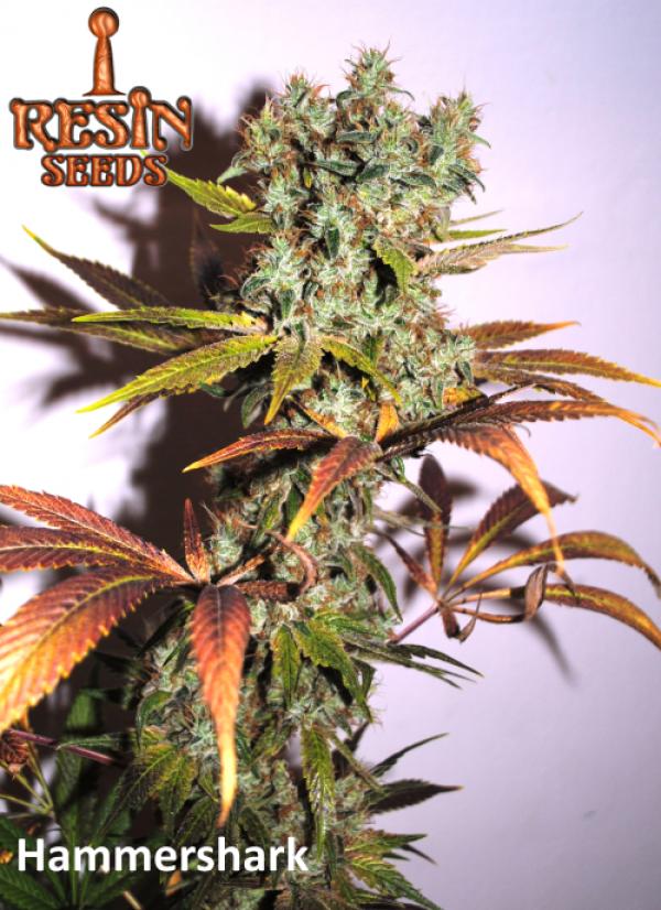 Hammershark Feminised Cannabis Seeds   Resin Seeds