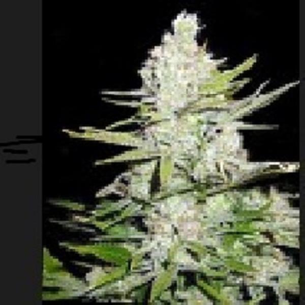 Haze Regular Cannabis Seeds | Apothecary Genetics Seeds