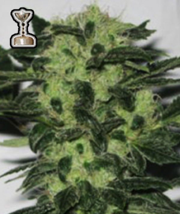 Headband 707 Regular Cannabis Seeds | Apothecary Genetics Seeds