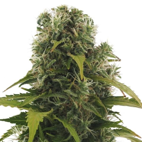 High Density Auto Feminised Cannabis Seeds | Heavyweight Seeds