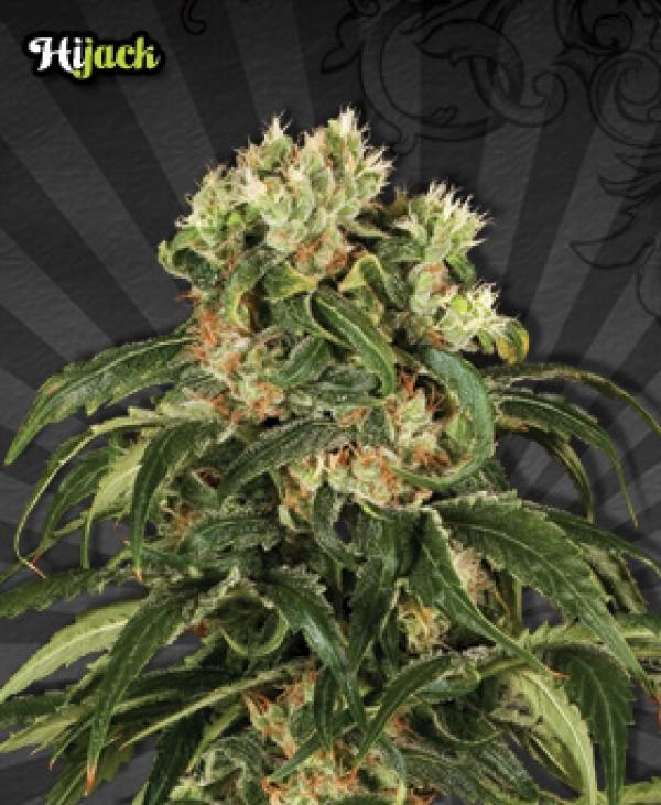 Hijack Auto flowering Feminised Cannabis Seeds   Auto Seeds