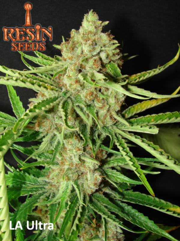 LA Ultra Feminised Cannabis Seeds | Resin Seeds