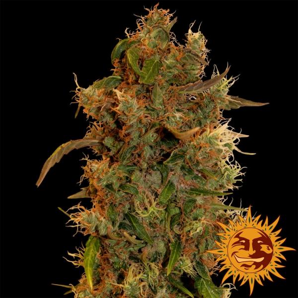 8 Ball Kush Feminised Cannabis Seeds   Barney's Farm