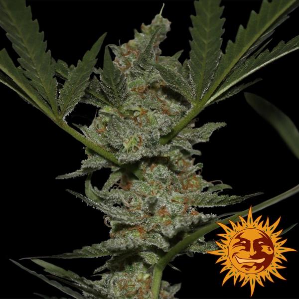 Acapulco Gold Feminised Cannabis Seeds | Barney's Farm