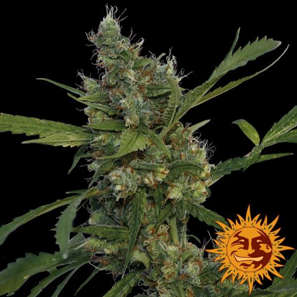Morning Glory Feminised Cannabis Seeds | Barney's Farm