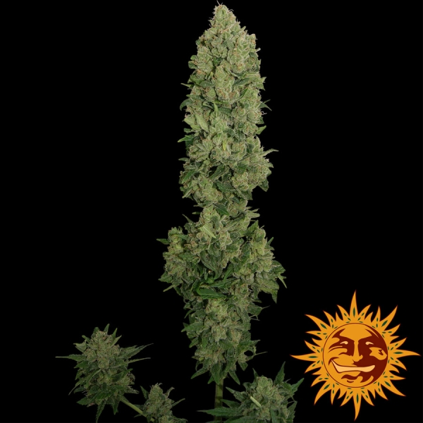 NYC Diesel Auto Feminised Cannabis Seeds | Barney's Farm