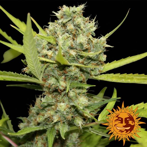 Pineapple Chunk Feminised Cannabis Seeds | Barney's Farm