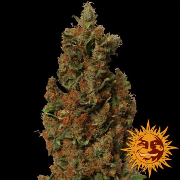 Red Diesel Feminised Cannabis Seeds | Barney's Farm