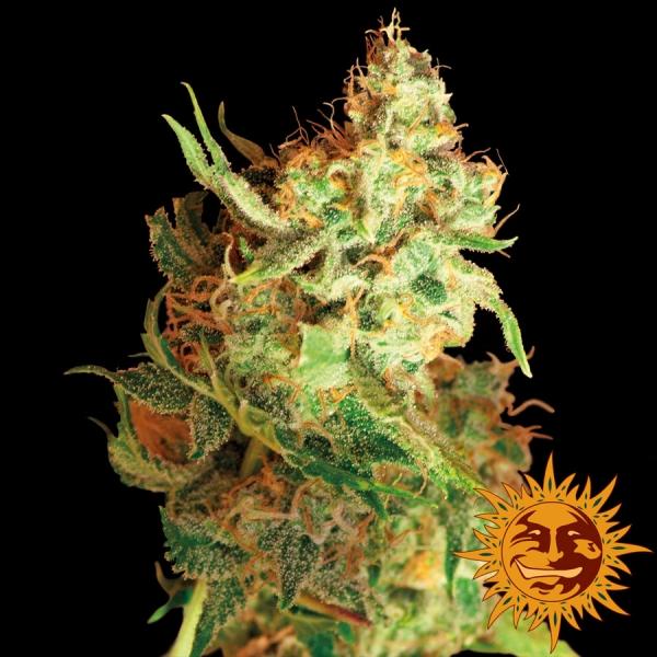Red Dragon Feminised Cannabis Seeds | Barney's Farm