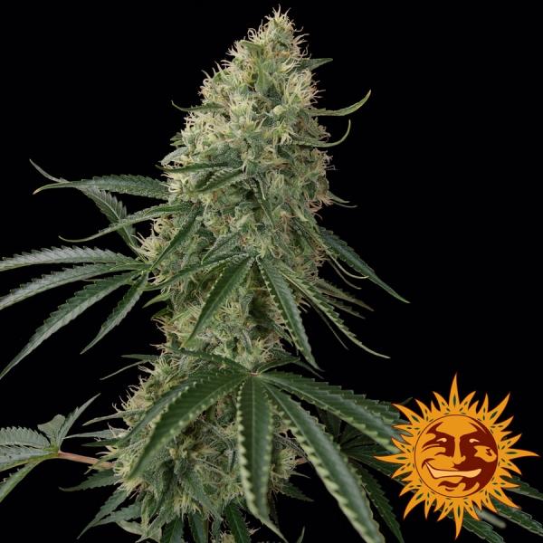 Sin Tra Bajo Auto Feminised Cannabis Seeds   Barney's Farm