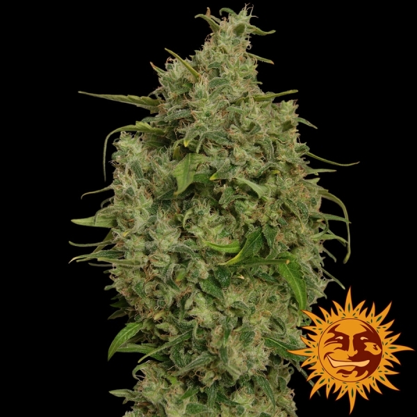Sweet Tooth Feminised Cannabis Seeds | Barney's Farm