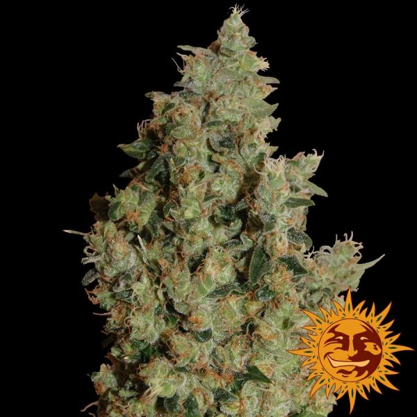 Tangerine Dream Feminised Cannabis Seeds | Barney's Farm