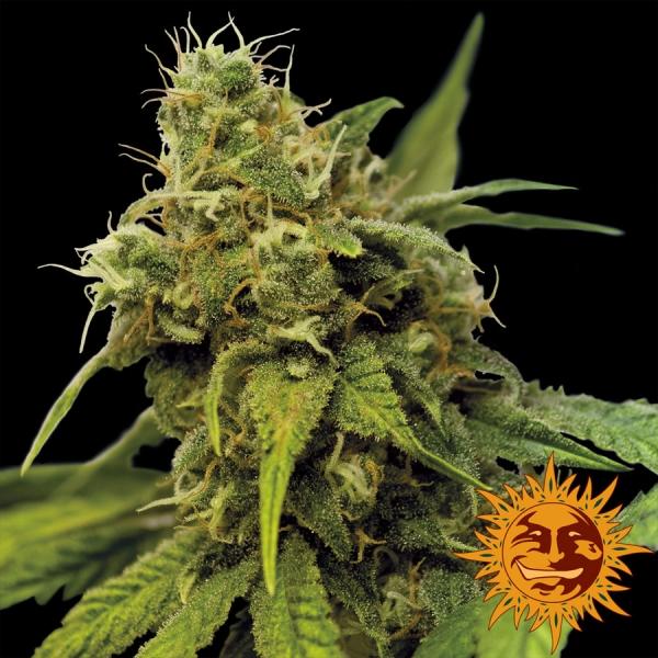 Utopia Haze Feminised Cannabis Seeds | Barney's Farm