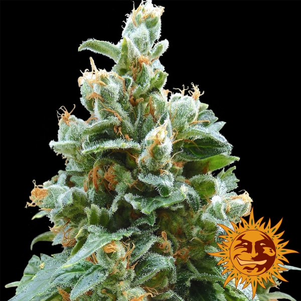 Vanilla Kush Feminised Cannabis Seeds | Barney's Farm