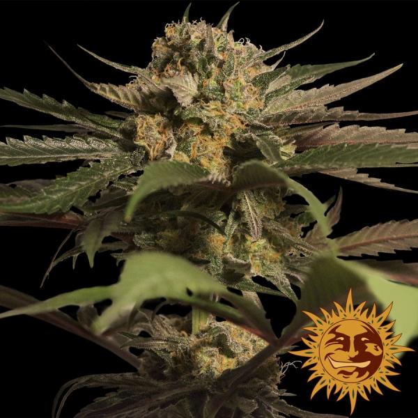 Violator Kush Feminised Cannabis Seeds | Barney's Farm