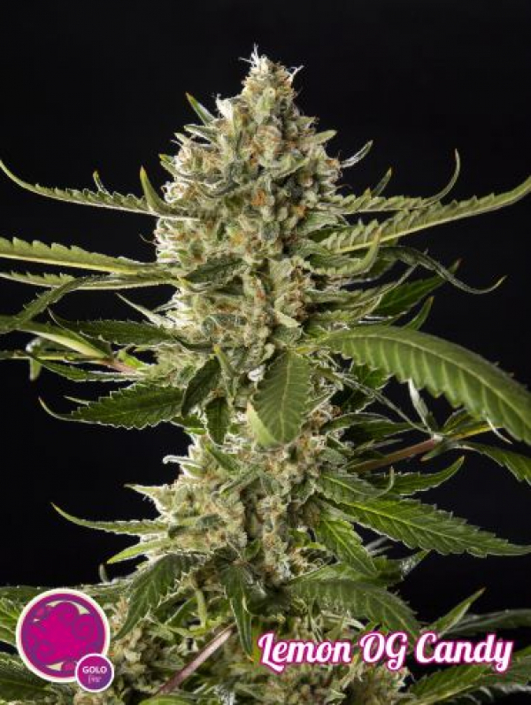 Lemon OG Candy Feminised Cannabis Seeds | Philosopher Seeds