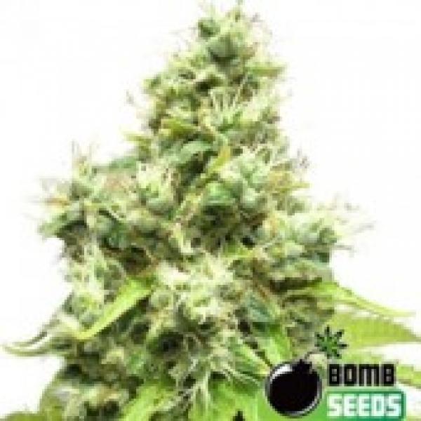 Bomb Seeds Medi Bomb #1 Feminised Cannabis Seeds For Sale
