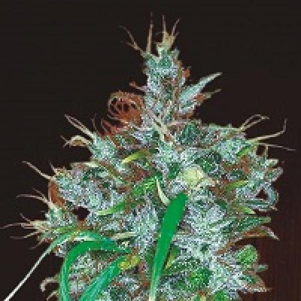 Panama Haze Feminised Cannabis Seeds   Ace Seeds
