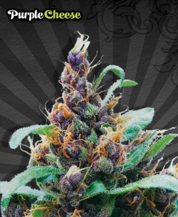 Purple Cheese Auto flowering Feminised Cannabis Seeds For Sale (Known as Purple Stilton) | Auto Seeds