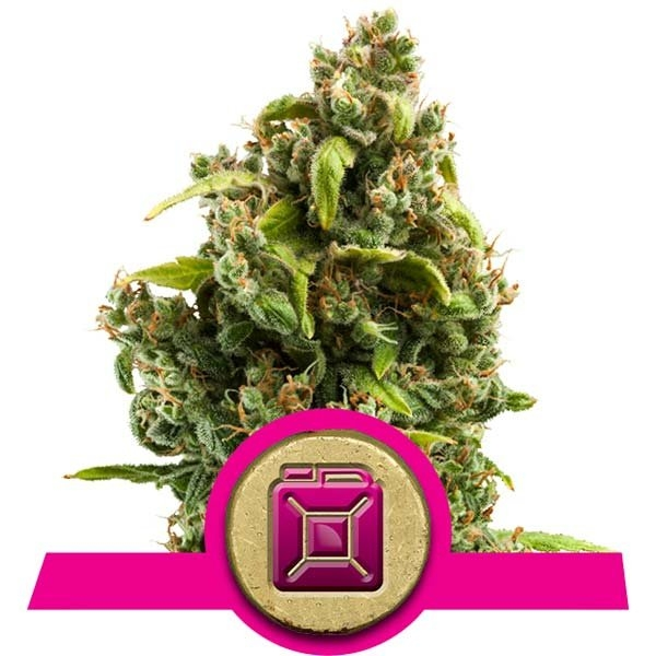 Sour Diesel Feminised Cannabis Seeds | Royal Queen Seeds