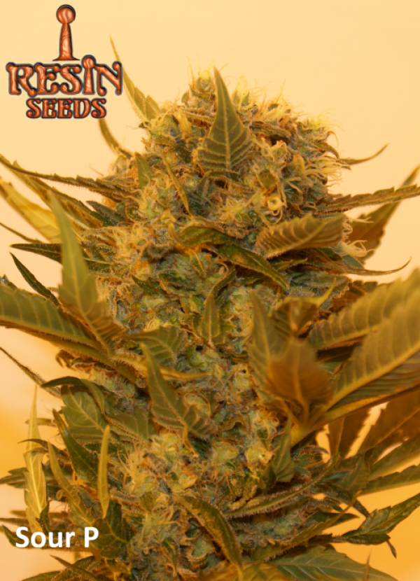Sour P Feminised Cannabis Seeds   Resin Seeds