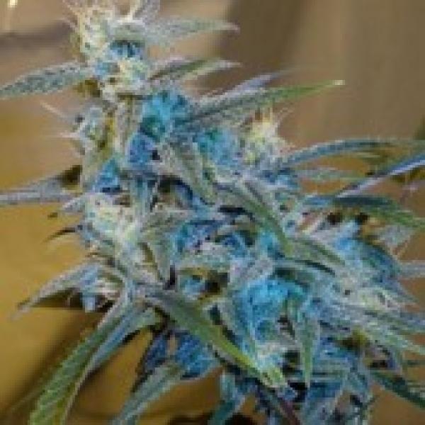 Sugarloaf Regular Cannabis Seeds
